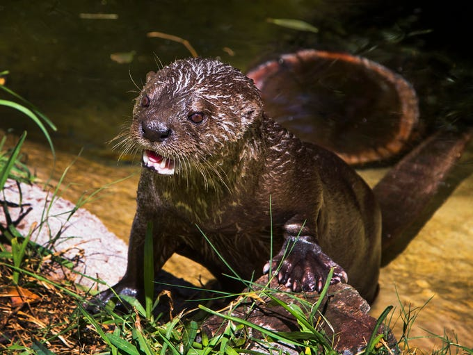 Biko, an 18-year-old spotted-necked otter, comes out