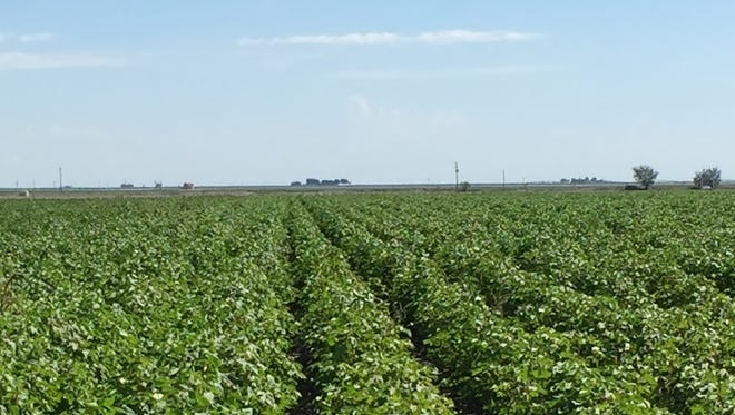 Runnels County cotton
