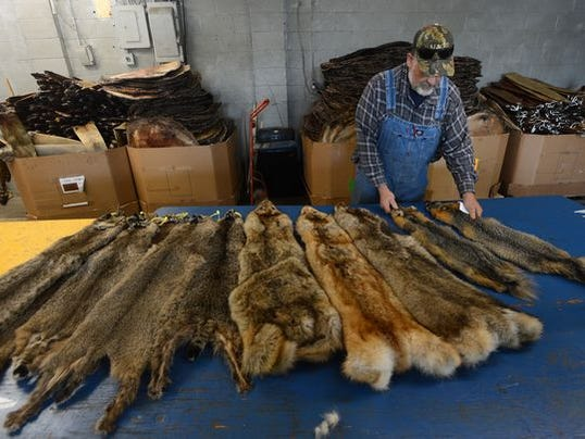 fur trapping photo