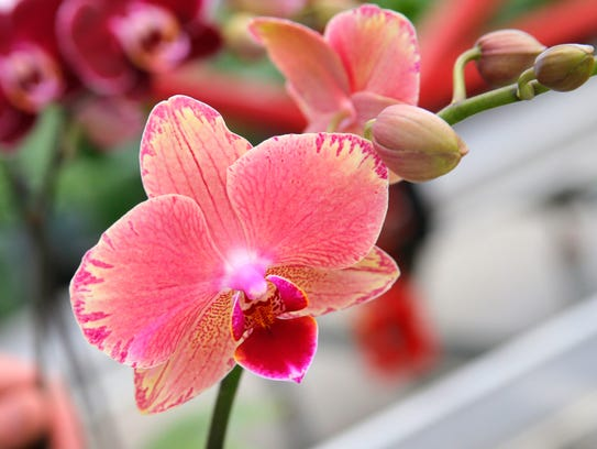 Orchids from Floricultura Pacific on Wednesday in Salinas.