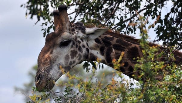 A giraffe in Kruger National Park in South Africa.