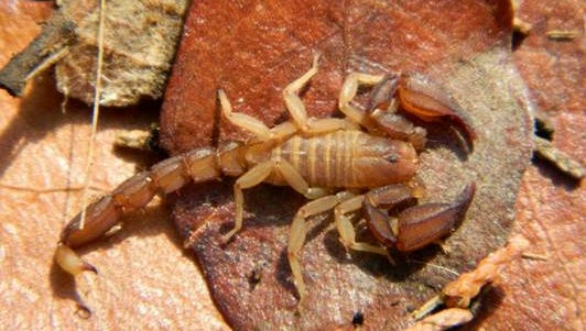 A male P. santarita scorpion found in Madera Canyon.