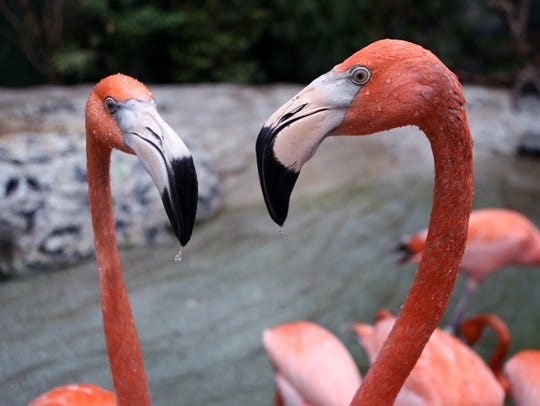 Flamingos are among the many birds in Caribbean Journey at the Texas State Aquarium.