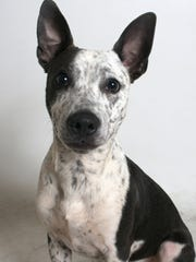 Petey is a 9-month-old, gray and white, male Australian