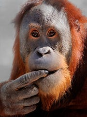 Rocky the orangutan