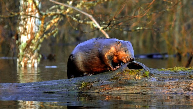 Winnebago County supervisors say an aging trapper who had kept the local beaver population in check retired.
