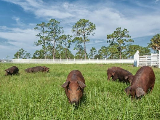 Red Wattle Pigs root through the serene pastures of Rosy Tomorrows Heritage Farm.