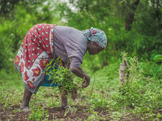 In this April 2017 photo provided by GiveDirectly, GiveDirectly basic income recipient Plister Aloo clears land for farming near Lake Victoria in Kenya. The program there distributes $22 a month to residents of the village for the next 12 years — roughly what residents need to buy essentials.