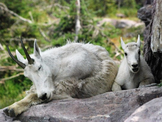 Mountain goats nap near Sperry Chalet in Montana.