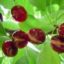 Split Bing Cherries