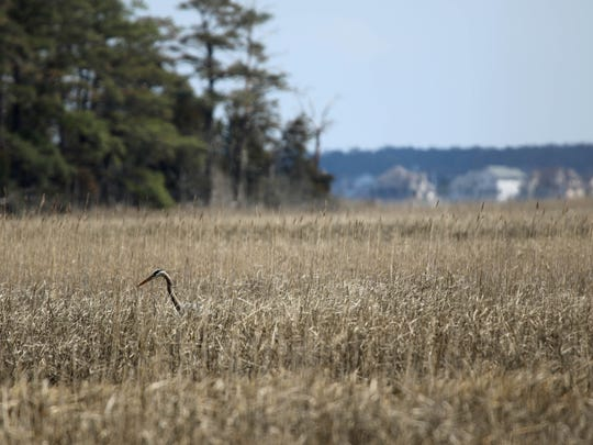 A heron lurks in the marsh near Pepper Creek off of