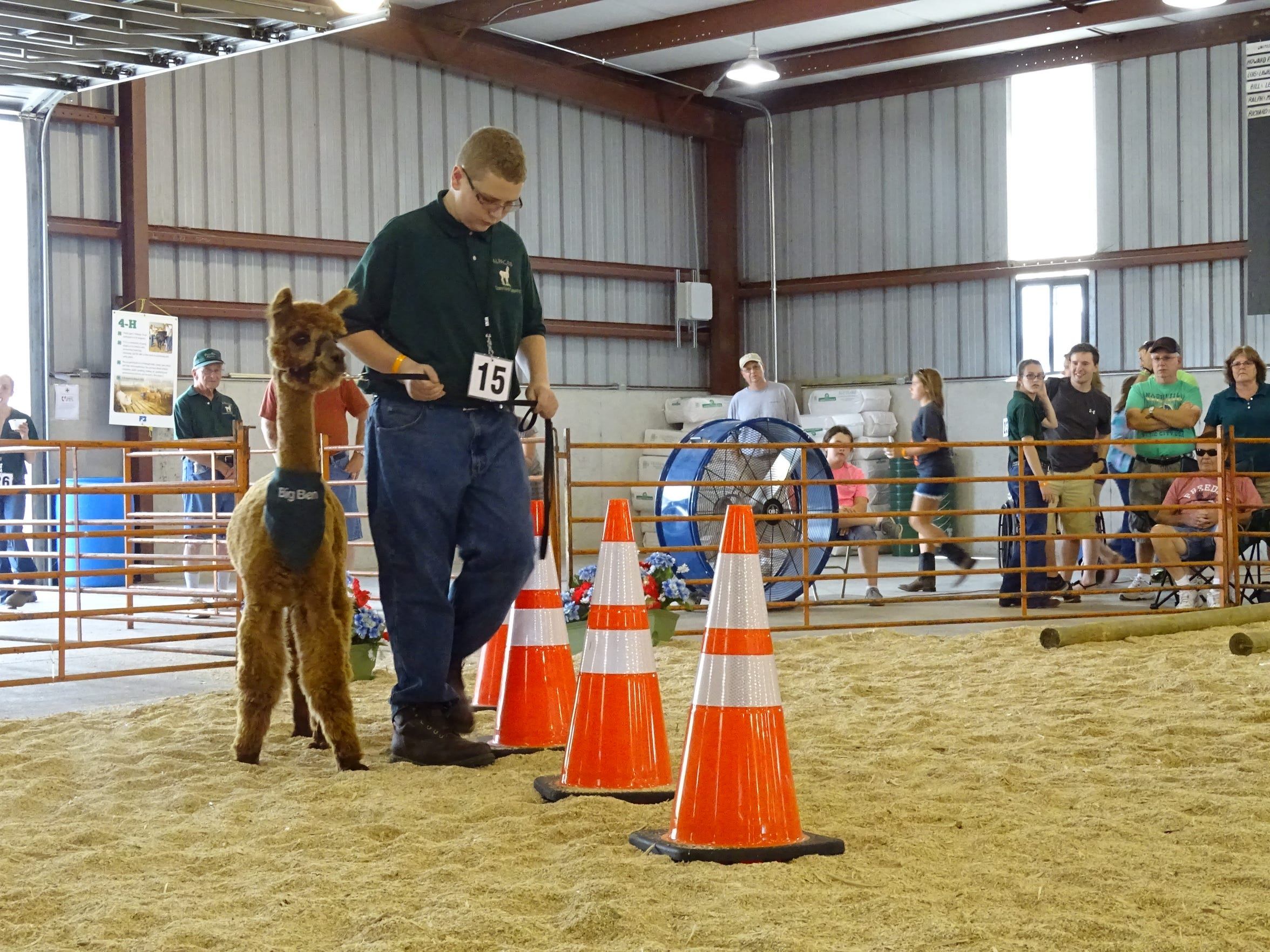 Tyler Phelps, 15, leads his alpaca around a few traffic cones Sunday during the obstacle course portion of the show.