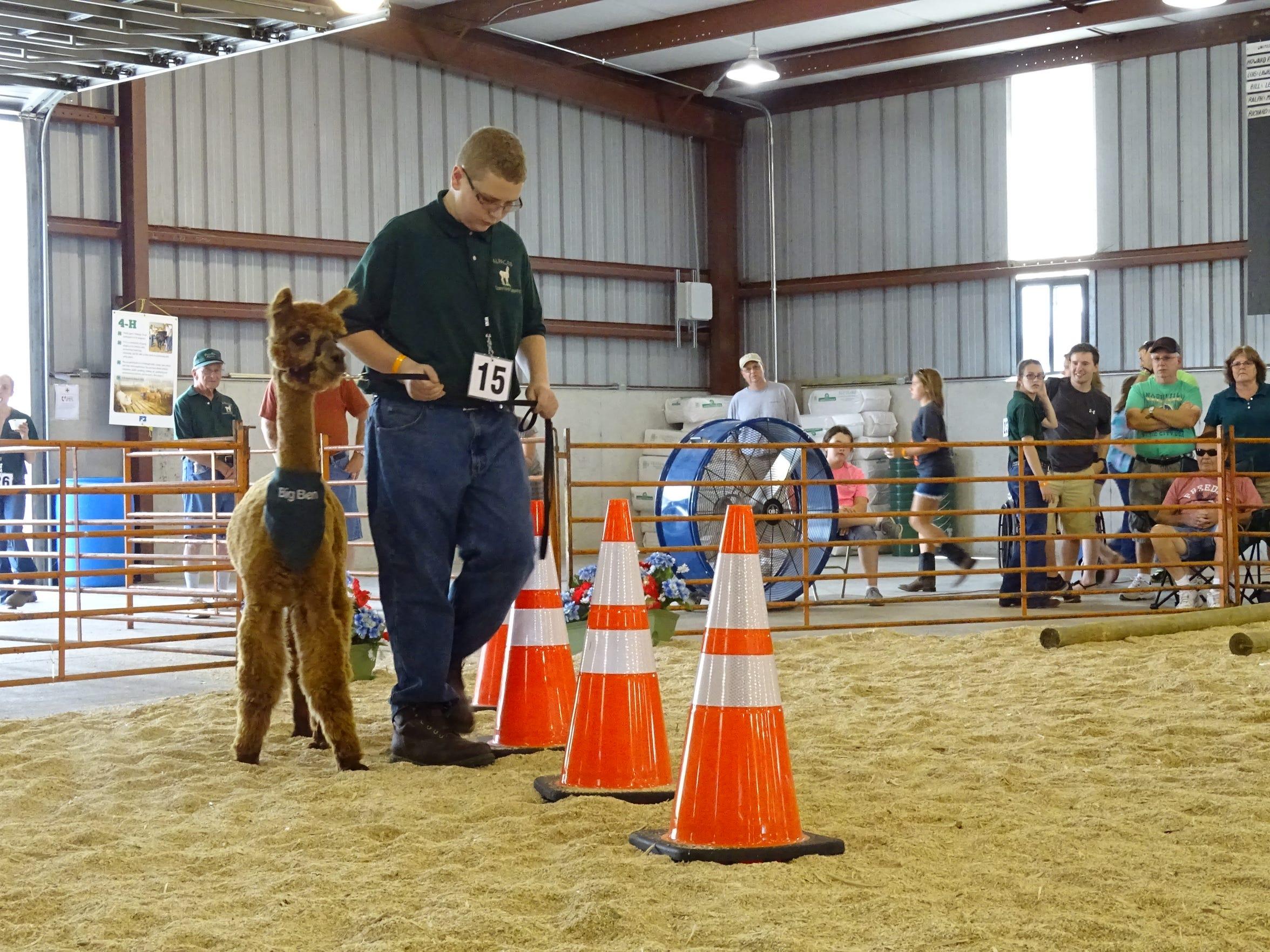 Tyler Phelps, 15, leads his alpaca around a few traffic