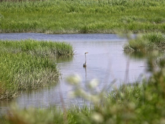 An egret wades in water on Roberts Farm, which is owned