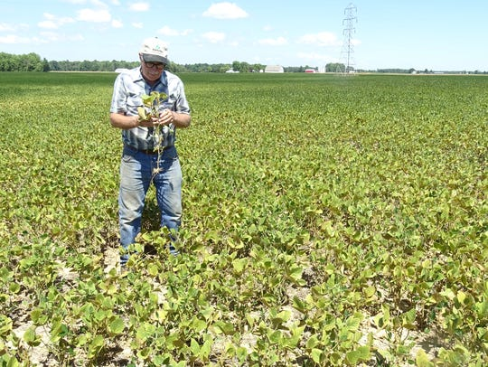 Farmer Joe Schimpf examines the health of his soybean