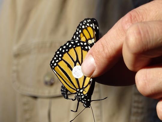 Josh Dyer, a naturalist with the Crawford Parks District, holds a Monarch butterfly that he tagged Monday evening at Unger Park in Bucyrus. The tags will help biologists track the butterflies during their 2,000 annual fall migration to Mexico.