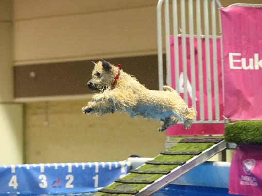Krista, the diving dog from Hawthorne who proved that wheaten terriers really can take to water as retrievers and other water dogs do, came within an inch of being in the top 10 at the national championships Saturday, Dec. 17, 2016 in Orlando, Fla.