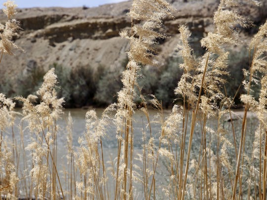 Reeds grow along the banks of the San Juan River Friday near the Among the Waters river trail in Farmington.