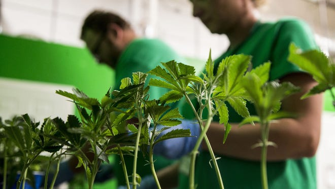 USA TODAY NETWORK In this file photo, Mohave Green's Choice Cannabis in Mohave Valley, Arizona, grows marijuana indoors. In this file photo, Mohave Green's Choice Cannabis in Mohave Valley, Arizona, grows marijuana indoors.