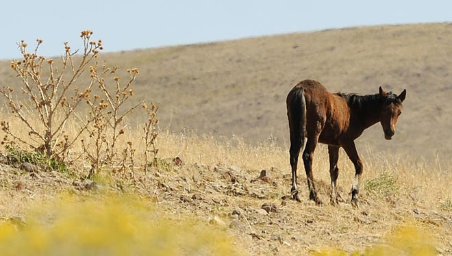 A wild horse grazes at the bottom of USA Parkway. Nevada officials terminated a deal that has kept hundreds of horses from the Virginia Range.  Amy Alonzo/RGJ