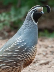 The male California quail is decorated all year round.