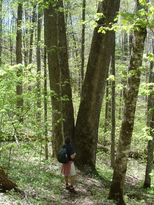 A hiker admires twin poplar trees on the Boogerman Trail in Great Smoky Mountains National Park.