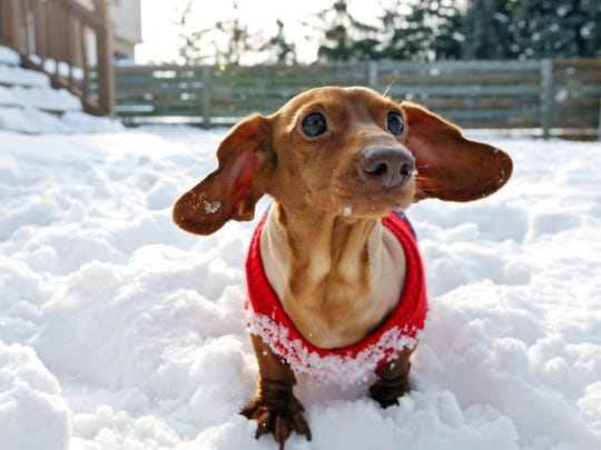 In this Feb. 25, 2015 photo, Brooke Burton's miniature dachshund Dennis stands in the snow in Columbus, Ohio. Once a wanton wiener dog, Dennis went on a diet and is now a happy shadow of his former self after losing more than 75 percent of his body weight. Less than two years ago, Dennis weighed in at a whopping 56 pounds.