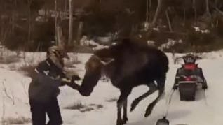 A moose - snowmobile encounter