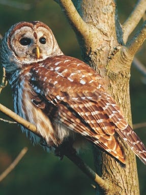 Fall migration is usually pretty quiet, but barred owls tend to make a bit of noise.