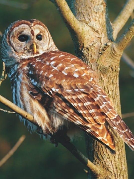 636092869724619928-barred-owl.jpg