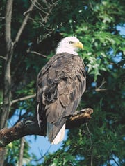 The Raptor Education Group Inc. out of Antigo helps injured birds like bald eagles.
