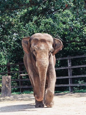 Khun Chorn, a 37-year-old elephant at Dickerson Park Zoo, was euthanized this weekend.