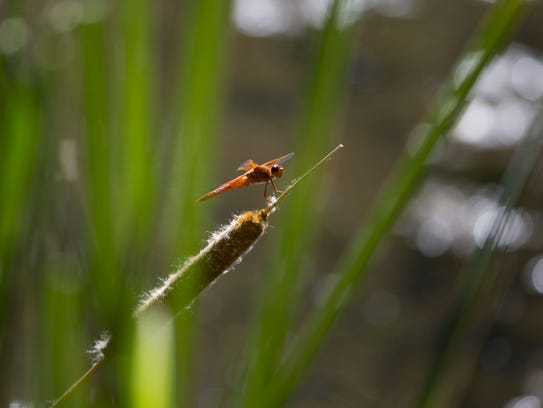 A dragonfly rests on a cattail  in Agua Fria National