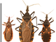 These are three common varieties of kissing bugs found