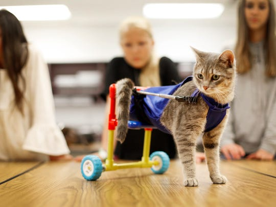 Clark the cat wears his new cart designed by Cane Creek Middle School students Thursday.