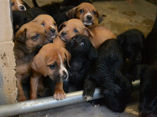 The P.A.W.S. group will foster these two litters of puppies from the Pineville Animal Shelter among other older dogs to save them from euthanization.