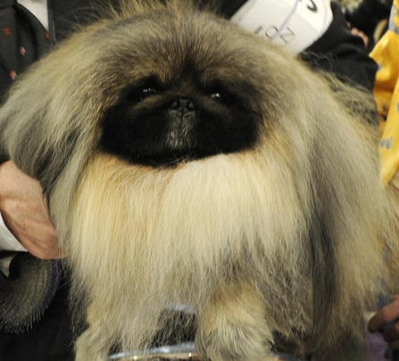 Westminster Dog Show Live Feed