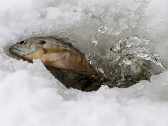 A bluegill splashes out of the hole in the ice Isaac