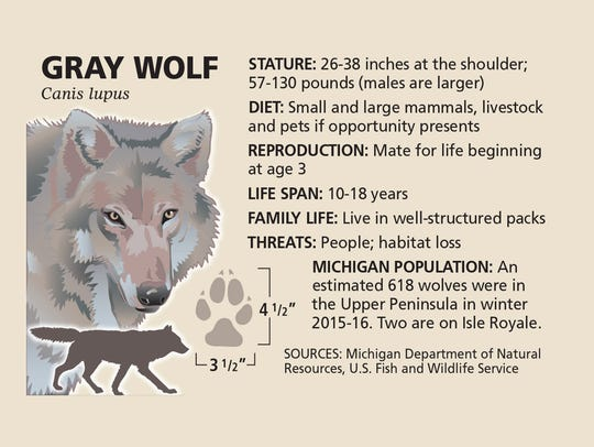 An estimated 618 wolves were in the Upper Peninsula
