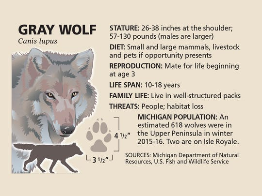 An estimated 618 wolves were in the Upper Peninsula in winter 2015-16. Two are on Isle Royale.