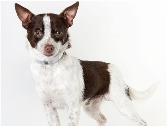 Bruce, a 2-year-old male Chihuahua mix dog. No. 99992.