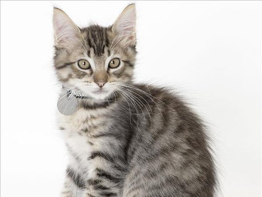 Ben, 3-month-old male domestic short hair kitten. No.