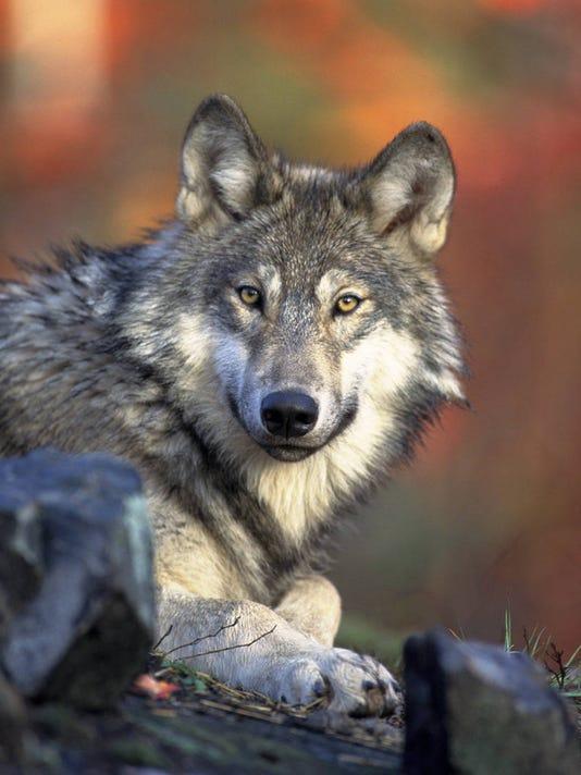 LSJBrd_06-08-2013_LSJ_1_A005~~2013~06~07~IMG_Endangered_Wolves__2_4_1_JS4BFD.jpg