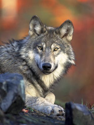 This April 18, 2008 photo released by the U.S. Fish and Wildlife Service shows a gray wolf.