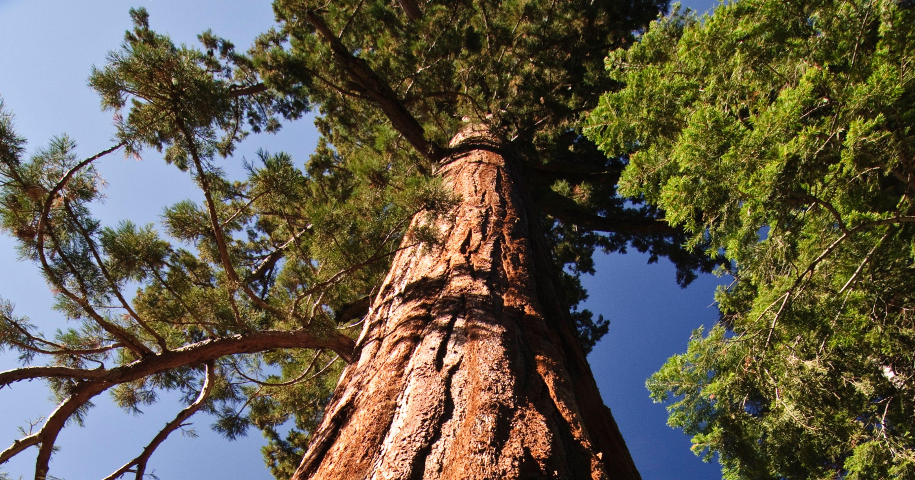 U-M botanical garden displays clone of ancient redwood