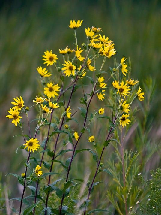SherburneWildflower.jpg