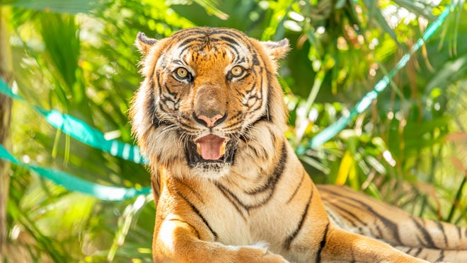 The Palm Beach Zoo posted a photo of Kadar the Malayan tiger on its social media pages on his 11th birthday.