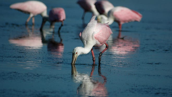 File: Roseate spoonbills search for breakfast in the shallow lagoon on Tigertail Beach, Marco Island.