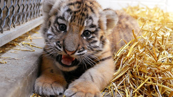 Tiger cub at 1 month old.