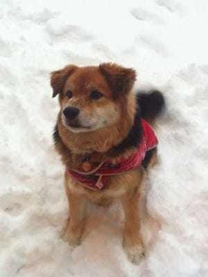 Snickers sitting in the snow. She struggled to find a way to potty in the cold weather.